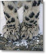 Snow Leopard Feet Metal Print