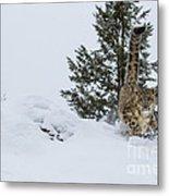 Snow Leopard Periscope Metal Print