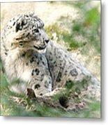 Snow Leopard Pose Metal Print