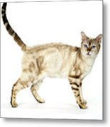 Snow Marble Bengal Cat Metal Print