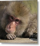 Snow Monkeys-just Hanging Out Metal Print