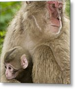 Snow Monkeys, Mother With Her Baby Metal Print