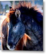 Snow Nose  Metal Print by Jeanne  Bencich-Nations