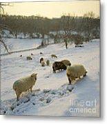 Snow Sheep  Metal Print
