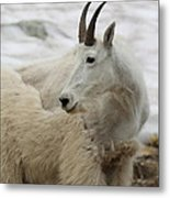 Snow White Mountain Goat Metal Print