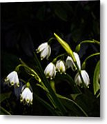 Snowdrops And Dark Background Metal Print