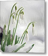 Snowdrops On Ice Metal Print