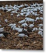Snows And Aleutians Feeding Metal Print