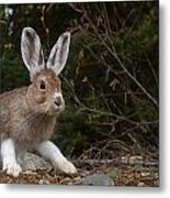 Snowshoe Hare Changing Colors Metal Print