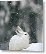 Snowshoe Hare In Snowfall Yellowstone Metal Print