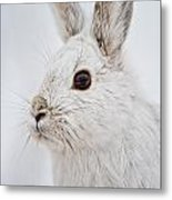 Snowshoe Hare Pictures 128 Metal Print