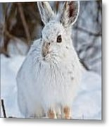 Snowshoe Hare Pictures 130 Metal Print