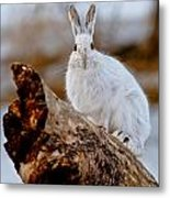 Snowshoe Hare Pictures 131 Metal Print