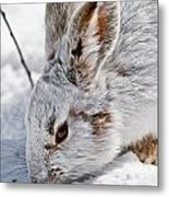 Snowshoe Hare Pictures 133 Metal Print
