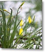 Snowy Daffodils Metal Print