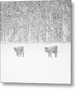 Snowy Day Highland Cattle Metal Print