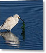 Snowy Egret Catches Sushi And Seaweed Metal Print