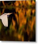 Snowy Egret Climbing Up To The Sky Metal Print by Andres Leon