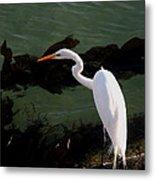 Great Egret Monterey Bay California  By Pat Hathaway Metal Print