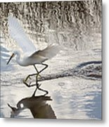 Snowy Egret Gliding Across The Water Metal Print
