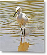 Snowy Egret Looking For Fish Metal Print