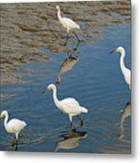Snowy Egret Lunch Break Metal Print