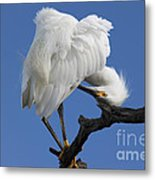 Snowy Egret Photograph Metal Print