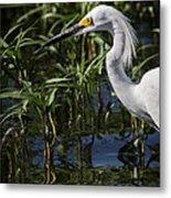 Snowy Egret Stalking Metal Print