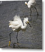 Snowy Egret With Fish No.2 Metal Print
