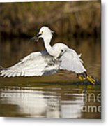Snowy Egret With Lunch Metal Print