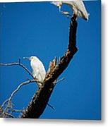 Snowy Egrets Metal Print
