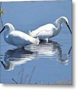 Snowy Egrets With Reflection Metal Print