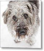Snowy Faced Pup Metal Print