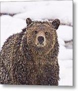 Snowy Grizzly Metal Print