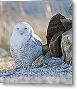 Snowy Owl Among The Rocks Metal Print