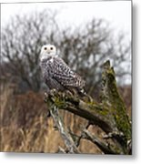 Snowy Owl At Boundary Bay  Metal Print