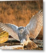 Snowy Owl - Bubo Scandiacus Metal Print by Michael Russell