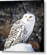 Snowy Owl Cold Stare Metal Print