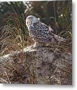 Snowy Owl In Florida 15 Metal Print