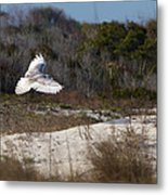 Snowy Owl In Florida 18 Metal Print