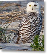 Snowy Owl In Florida 24 Metal Print