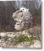 Snowy Owl In Florida 4 Metal Print