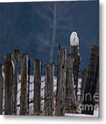 Snowy Owl On A Fence Metal Print