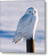 Snowy Owl On A Post Metal Print