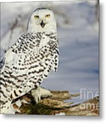 Snowy Owl On A Winter Hunt Metal Print