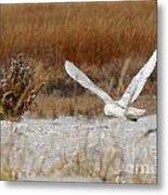 Snowy Owl On The Hunt Metal Print