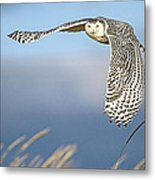Snowy Owl Over The Dunes Metal Print
