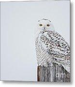 Snowy Owl Perfection Metal Print