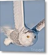 Snowy Owl Pictures 47 Metal Print