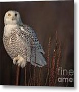 Snowy Owl Pictures 64 Metal Print